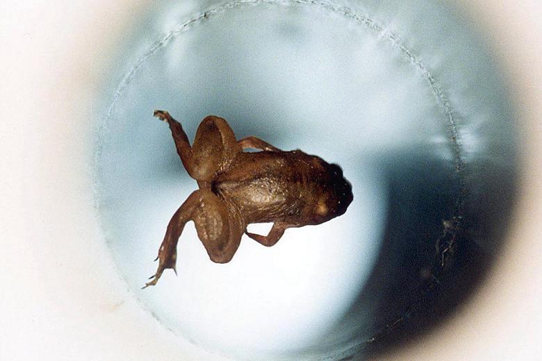 Levitating frog