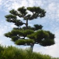 Beautiful cultured tree