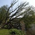 Fallen tree, still alive