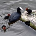 Common coot with chicks