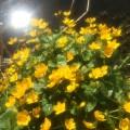 Dotterbloemen (Marsh Marigolds)