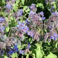 Borage, another herb