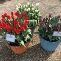 Different tulip varieties
