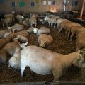 Rearing sheep as a hobby