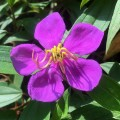 Melastoma flower