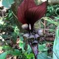 Tacca (Bat lily)